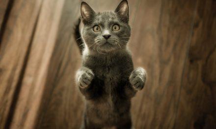 Comment faire grossir un chat : quel régime alimentaire choisir ?