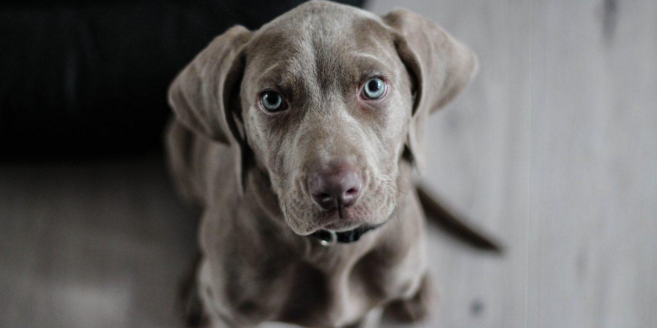 Comment faire grossir un chien : quelle alimentation adopter pour un chien maigre ?