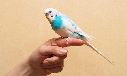 Comment apprivoiser des perruches : est-il possible de gagner la confiance de cet oiseau ?