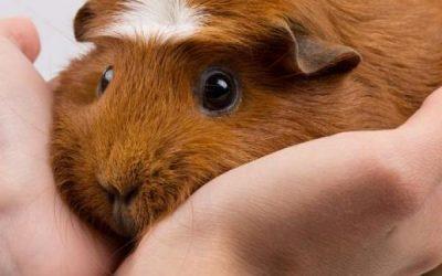 Comment prendre soin de cochons d'Inde : qu'est-ce qu'un cochon d'inde ?